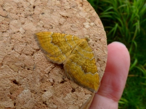 A Yellow Shell moth