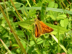 A female Large Skipper butterfly, Barton Meadows Farm