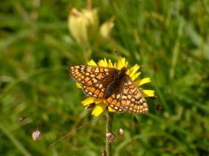 Marsh Fritillary Butterfly, Barton Meadows Farm