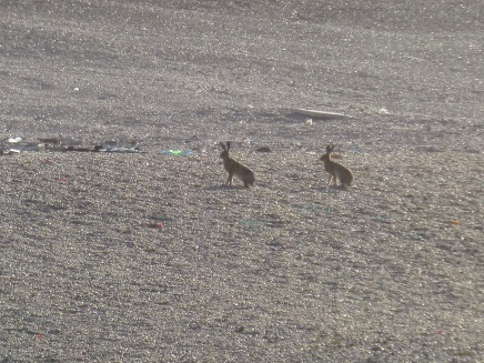 Chesil Hares!