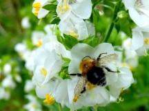 A spread-eagled bumblebee
