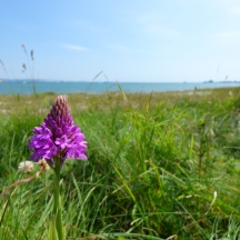 Pyrmidal Orchid (Portland Harbour in background)