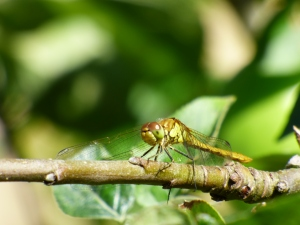 My favourite photo from Lorton - an immature male Common Darter dragonfly, resting on the branch of an apple tree!