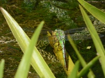 A female Emperor Dragonfly takes a rest from ovipositing (laying eggs)