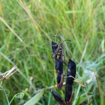 A Six-belted Clearwing Moth at King Barrow Quarries Reserve.