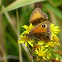 Gatekeeper Butterflies