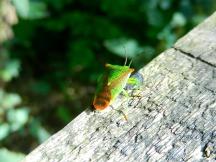 A type of Shieldbug?