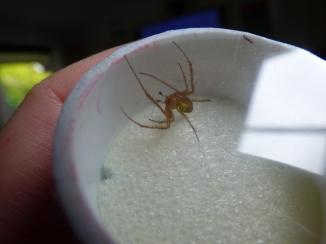 Spider in a spi-pot just before immobilisation