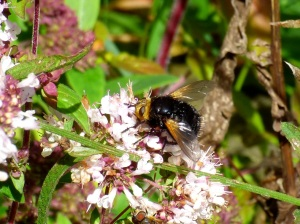 Giant Tachinid Fly (T.grossa)