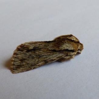 Sprawler moth