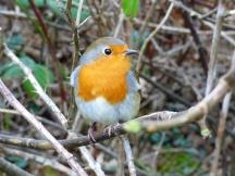 Very friendly robin