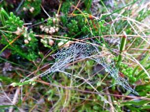 Dew-covered spiderweb