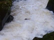 A very blurry salmon