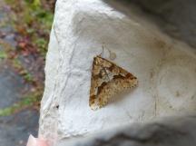Mottled Umber Moth