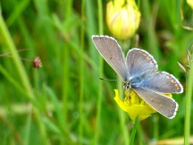 Adnonis Blue (female)