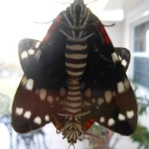 Possibly Faithful Beauty moths