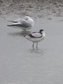Avocet and Black-Headed Gull