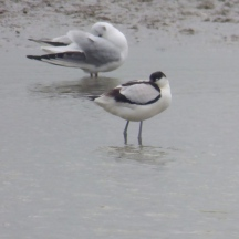 Avocet and Black-Headed Gull