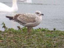 I believe a first winter Herring Gull?