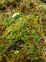 Plenty of Radnor Lily leaves