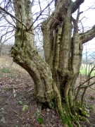 Field Maple Tree - very old, but how old?