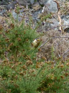 Blurry Goldcrest from a distance
