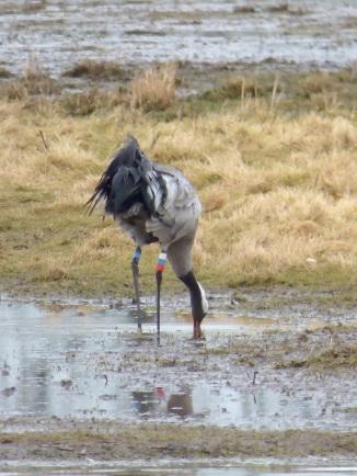 Crane (G.grus)