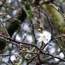Blackthorn / Sloe flower (Prunus spinosa)