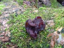 Jelly Ear fungus (Auricularia auricula-judae)
