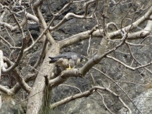 Peregrine at Stanner Rocks, photo by A.G.Shaw