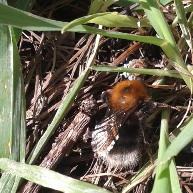 Tree Bumblebee, Bombus hypnorum (phone photo)