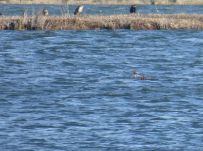 Great Crested Grebes (at a distance), Podiceps cristatus