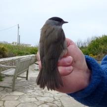 Blackcap, male (Sylvia atricapilla)