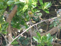 Firecrest (Regulus ignicapillus)