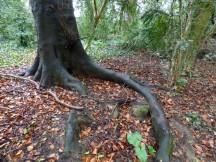 Fantastic tree root!
