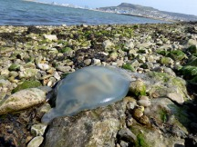 Barrel Jellyfish, Rhizostoma pulmo