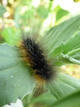 Garden Tiger caterpillar, Arctia caja