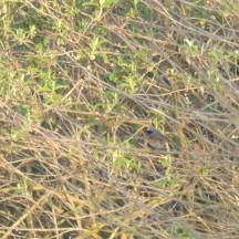 Male Redstart, Phoenicurus phoenicurus