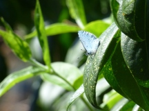 Holly Blue, Celastrina argiolus