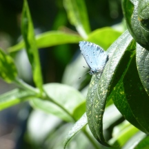 Holly Blue, Celastrina argiolus