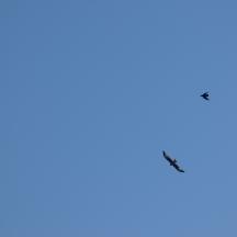 Red Kite, Milvus milvus