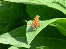 Comma, Polygonia c-album