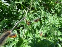 Garden Tiger Moth Caterpillar (Arctia caja)