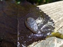 Ramshorn Snail (Planorbis) eggs