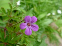 Herb-Robert (Geranium robertianum) I think
