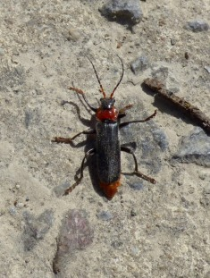 Soldier beetle (Cantharis fusca - TBC)