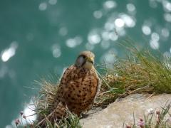 Female Kestrel on the cliffs