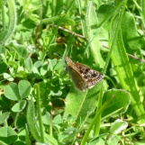 Dingy Skipper butterfly, Erynnis tages