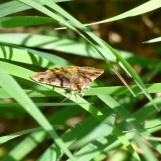 Burnet Companion moth, Euclidia glyphica