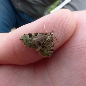 Green Carpet moth, Colostygia pectinataria